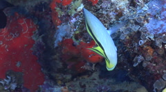 Criss-cross butterflyfish feeding, Chaetodon vagabundus, HD, UP16800 Stock Footage