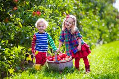 Kids picking fresh apples from tree in a fruit orchard Stock Photos
