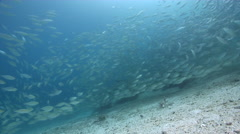Yellowstripe scad swimming and schooling, Selaroides leptolepis, HD, UP27267 Stock Footage