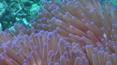 Pink anemonefish swaying, Amphiprion perideraion, HD, UP16851 Stock Footage