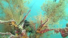 Orange blue yellow ascidians swaying, Pycnoclavela detorta, HD, UP27762 Stock Footage