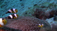 Adults and juveniles Panda clownfish swimming, Amphiprion polymnus, HD, UP27224 Stock Footage
