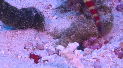 Gorgeous shrimpgoby, Amblyeleotris wheeleri, HD, UP16905 Stock Footage