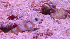 Yellownose shrimpgoby emerging, Stonogobiops xanthorhinica, HD, UP16932 Stock Footage