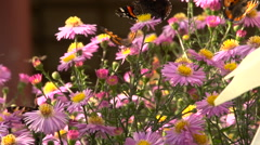 Butterflies and bee Stock Footage