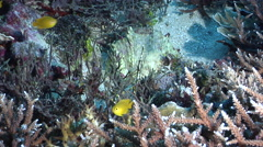 Halimeda ghost pipefish hovering on shallow coral reef, Solenostomus halimeda, - stock footage