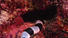 Banded sea krait hunting, Laticauda colubrina, HD, UP16948 - stock footage