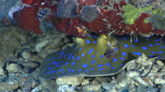 Blue-spotted lagoon ray cleaning and being cleaned on deep coral rubble, Stock Footage