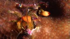 Yellow coral hermit shrimp feeding at night, Paguritta corallicolla, HD, UP16965 Stock Footage