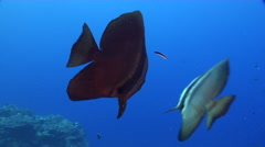 Blunthead batfish cleaning and being cleaned on shallow coral reef, Platax Stock Footage