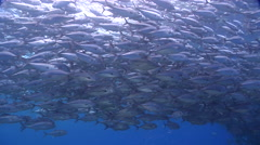 Bigeye trevally swimming and schooling in bluewater, Caranx sexfasciatus, HD, - stock footage