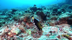 Clown triggerfish tending eggs on deep coral reef, Balistoides conspicillum, HD, Stock Footage