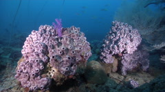Grey colonial ascidian on silty inshore reef, Leptoclinides sp., HD, UP27011 Stock Footage