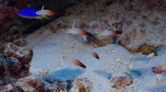 Fire dartfish hovering in overhang, Nemateleotris magnifica, HD, UP27867 - stock footage