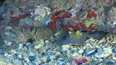 Blue-spotted lagoon ray breathing on deep coral rubble, Taeniura lymma, HD, Stock Footage
