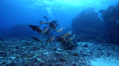 Blunthead batfish swimming and schooling on deep coral reef, Platax teira, HD, Stock Footage