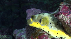Black-spotted pufferfish sleeping in cavern, Arothron nigropunctatus, HD, Stock Footage