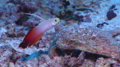 Fire dartfish swimming on sand and coral rubble, Nemateleotris magnifica, HD, Stock Footage