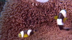 Adults and juveniles Panda clownfish swimming, Amphiprion polymnus, HD, UP27221 Stock Footage