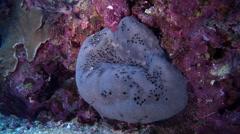 Fat grey sponge, Hippospongia amata, HD, UP27113 Stock Footage