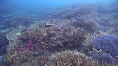 Ocean scenery healthy hard coral gardens, on shallow coral reef, HD, UP17063 Stock Footage