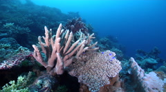 Nuggety branching coral on shallow coral reef, Acropora palifera, HD, UP27611 Stock Footage