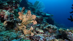 Sponge on deep coral reef, Unidentified Species, HD, UP27376 Stock Footage