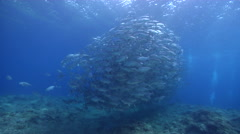 Bigeye trevally swimming and schooling on shallow coral reef, Caranx Stock Footage