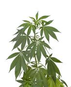 Marijuana plant on white Stock Photos