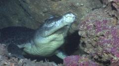 Saltwater crocodile in cavern, Crocodylus porosus, HD, UP27509 Stock Footage