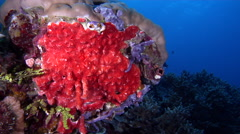 Red sponge on shallow coral reef, Monanchora ungiculata, HD, UP27191 Stock Footage