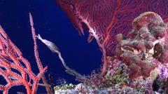 Golden damsel tending eggs on deep coral reef, Amblyglyphidodon aureus, HD, Stock Footage