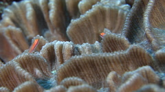 Neon dwarfgoby swimming on hard coral microhabitat, Eviota atriventris, HD, Stock Footage