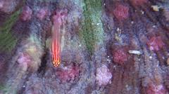 Neon dwarfgoby on hard coral microhabitat, Eviota atriventris, HD, UP27196 Stock Footage