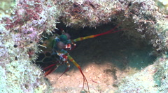Peacock smasher mantis shrimp looking around, Odontodactylus scyllarus, HD, Stock Footage