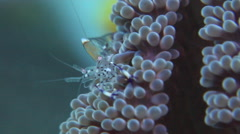 Jelly shrimp feeding, Periclimenes holthuisi, HD, UP27228 Stock Footage