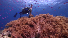 Buddy team of scuba divers swimming on shallow coral reef with Magenta slender Stock Footage