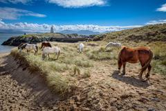 Wild horses grazing on Llanddwyn Island, a peninsula on Anglesey. - stock photo
