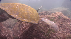 Southern whitetail gregory feeding on rocky shore, Stegastes beebei, HD, UP26231 Stock Footage