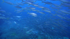 Rainbow runner swimming and schooling on deep coral reef at dusk, Elagatis Stock Footage