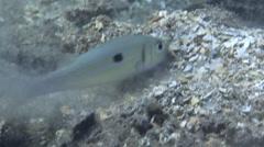 Yellowstripe goatfish hunting, Mulloidichthys flavolineatus, HD, UP26742 Stock Footage