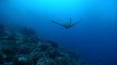 Spotted eagle ray swimming on rocky reef, Aetobatus ocellatus, HD, UP26352 Stock Footage