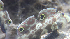 Adults and juveniles Twinspot goby feeding on sand, Signigobius biocellatus, HD, Stock Footage