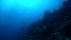 Spotted eagle ray swimming on rocky reef, Aetobatus ocellatus, HD, UP26345 Stock Footage