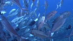 Bigeye trevally swimming and schooling, Caranx sexfasciatus, HD, UP26874 Stock Footage