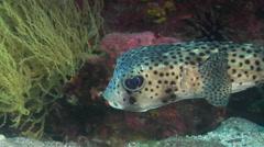 Spotfin burrfish swimming, Chilomycterus reticulatus, HD, UP26150 Stock Footage