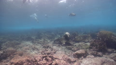Juvenile Galapagos sea lion lollygagging on rocky reef, Zalophus californicum Stock Footage