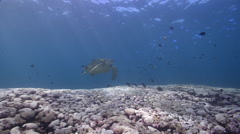 Green turtle swimming on cleaning station, Chelonia mydas, HD, UP26710 Stock Footage