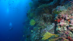 Distant group of scuba divers drifting on deep wall with Golden damsel Rainbow Stock Footage