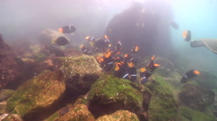 King angelfish feeding on rocky shore, Holacanthus passer, HD, UP26224 Stock Footage